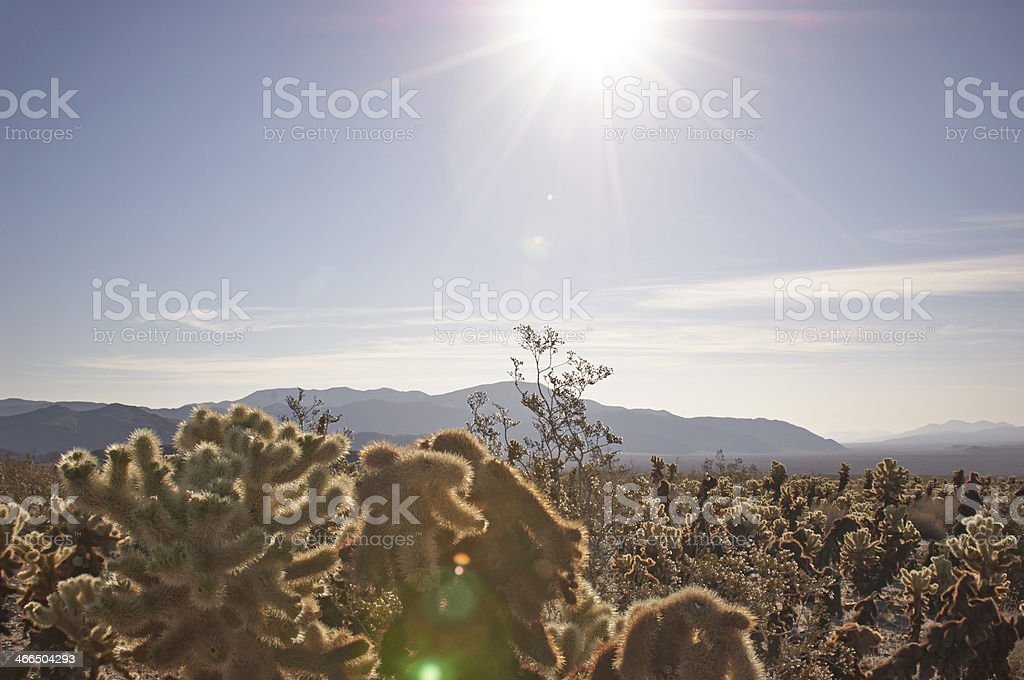 Mojave Desert Cactus Sunrise royalty-free stock photo
