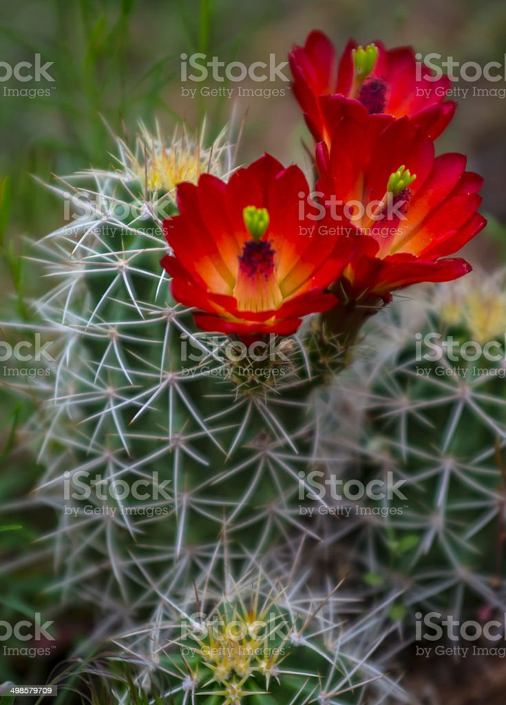 Mojave mound cactus - Echinocereus triglochidiatus stock photo