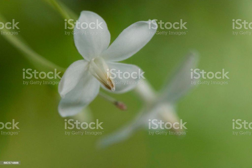 Mok flower stock photo