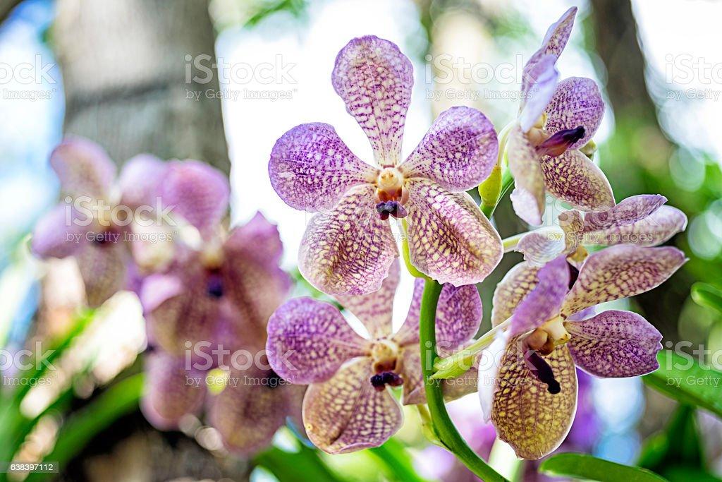 Mokara hybrid orchid stock photo