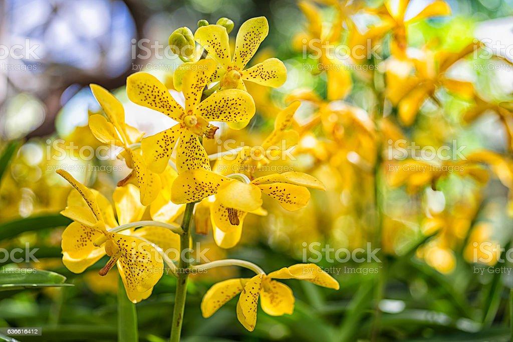 Mokara Orchid stock photo