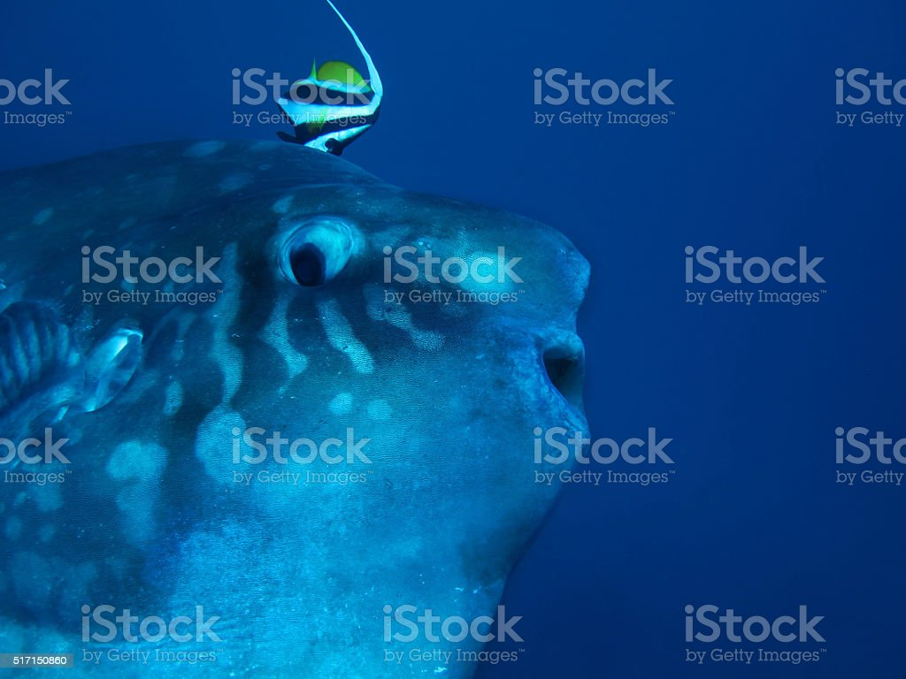Mola mola (Ocean sunfish) stock photo