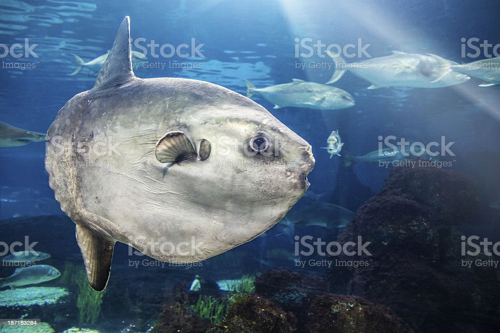 MolaMola (Ocean Sunfish) stock photo