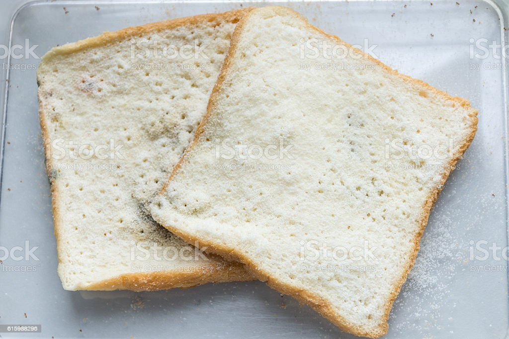 Mold bread Experiment, science laboratory samples stock photo