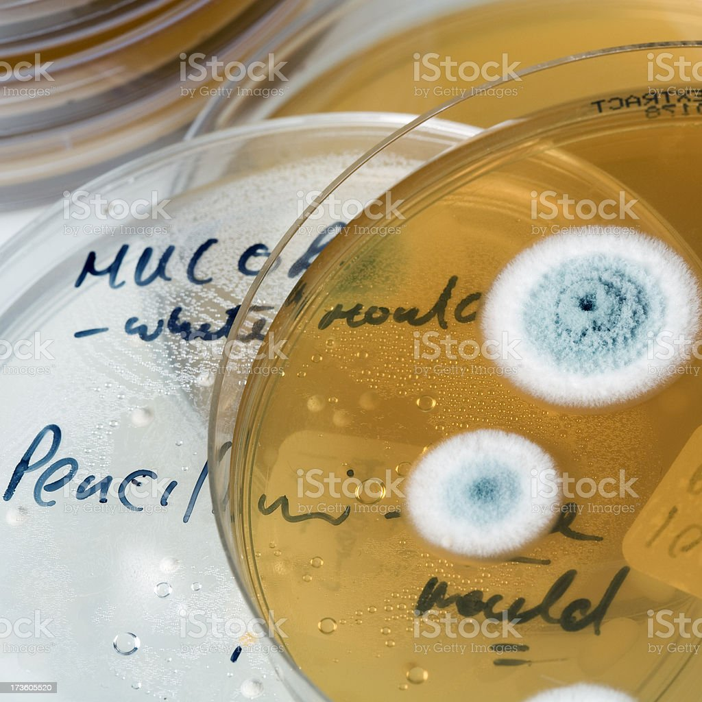 mold cultures growing on petri dish stock photo