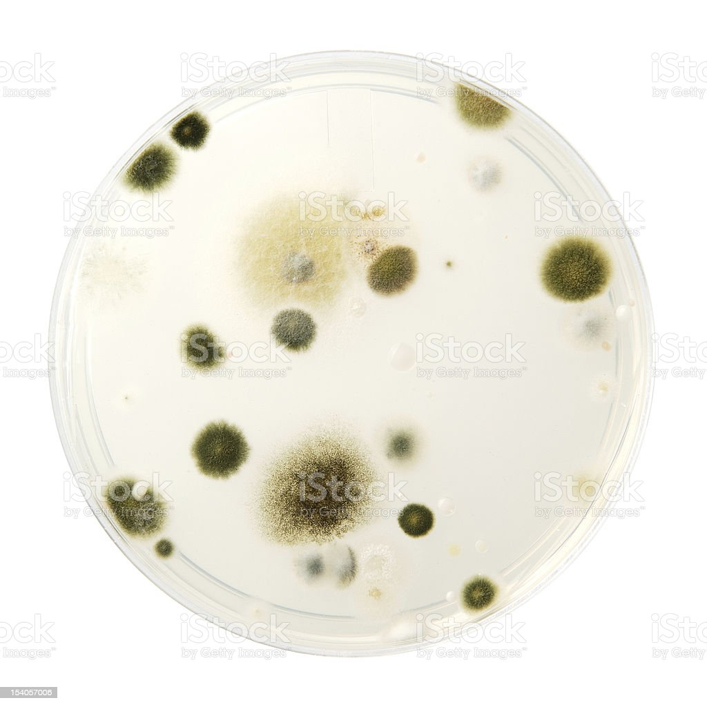 Mold growing in a Petri dish royalty-free stock photo