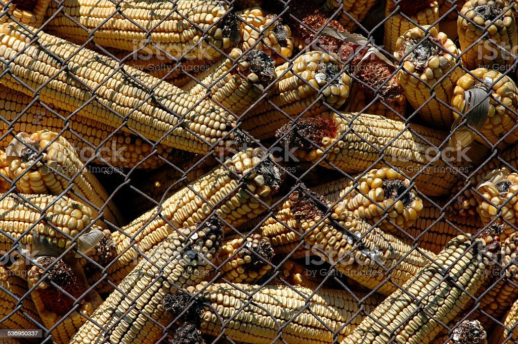 Moldy corn with Aflatoxin stock photo