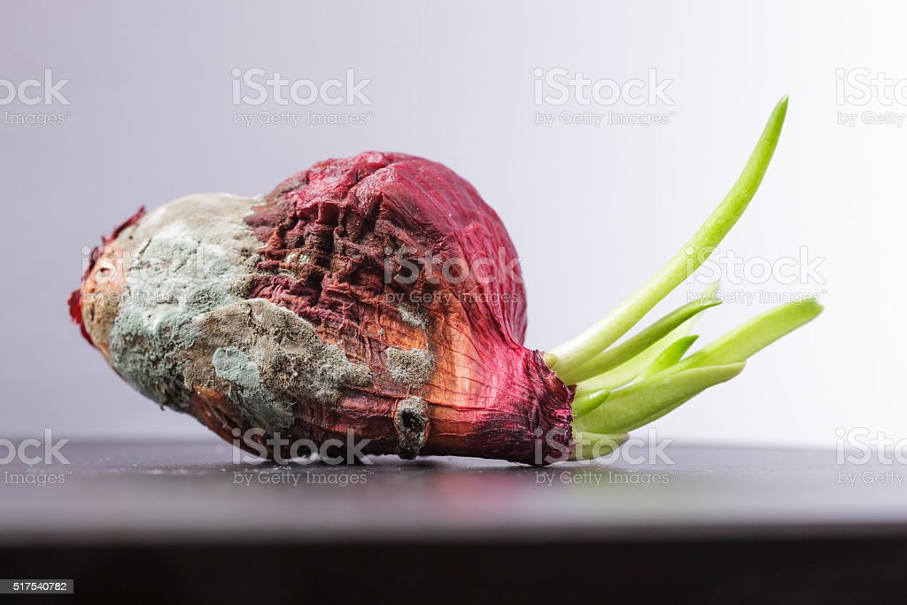 Moldy onions with green sprouts. Never give up stock photo