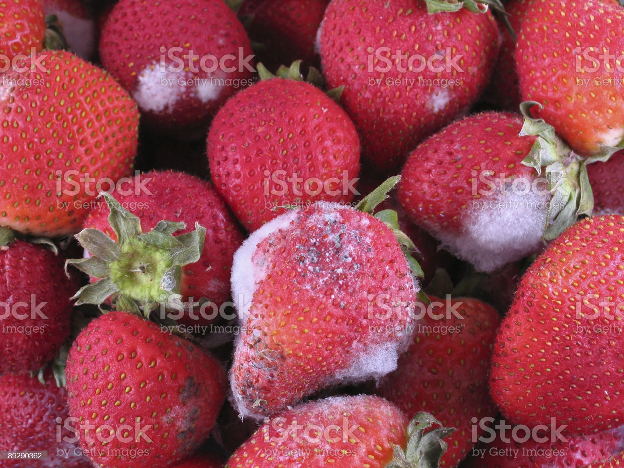 Moldy Strawberries | Mold on Fruit royalty-free stock photo