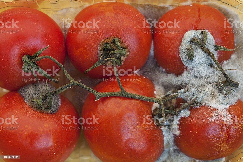 Moldy tomatoes royalty-free stock photo