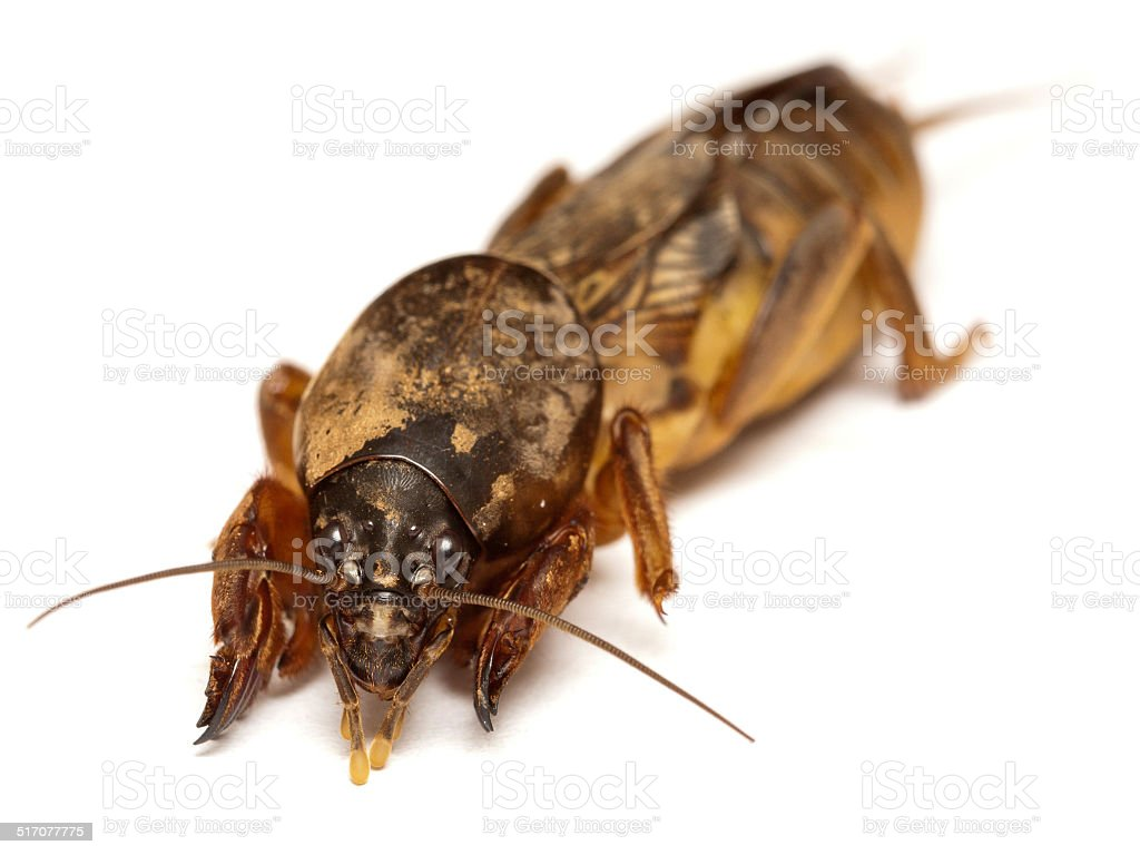 Mole Cricket closeup stock photo