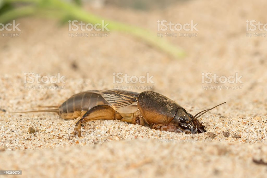 mole cricket digs the soil hole stock photo