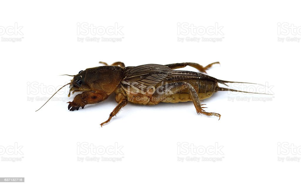 Mole cricket isolated on a white background stock photo