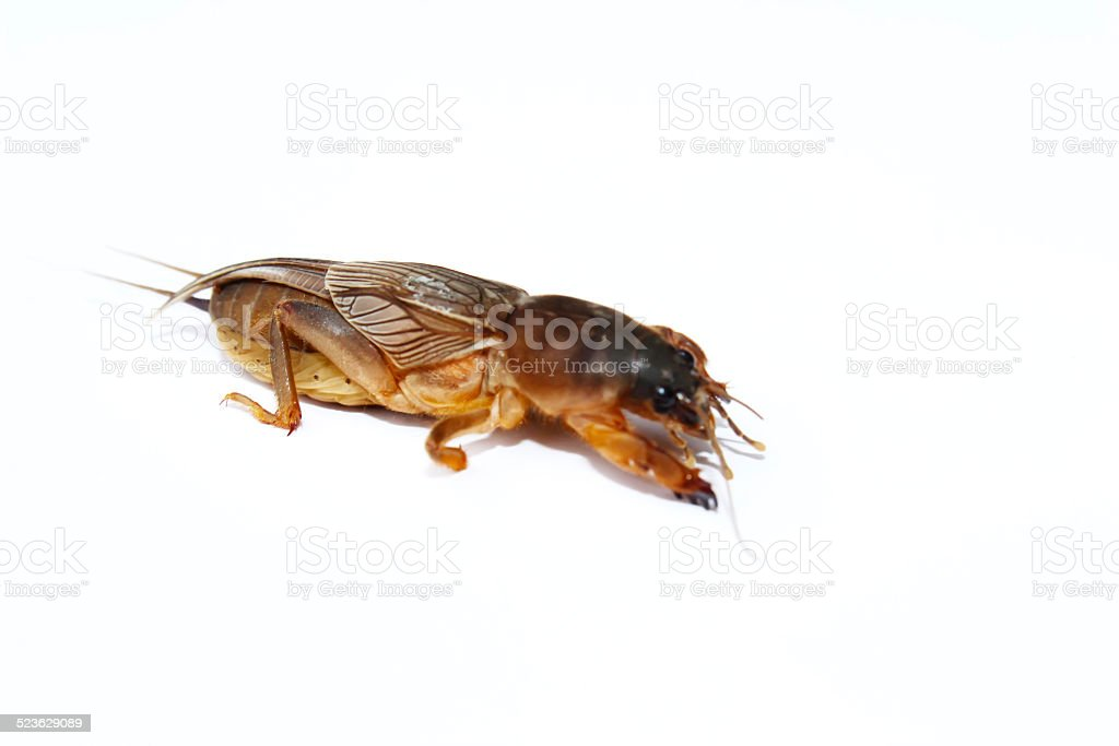 Mole cricket isolated on white background stock photo