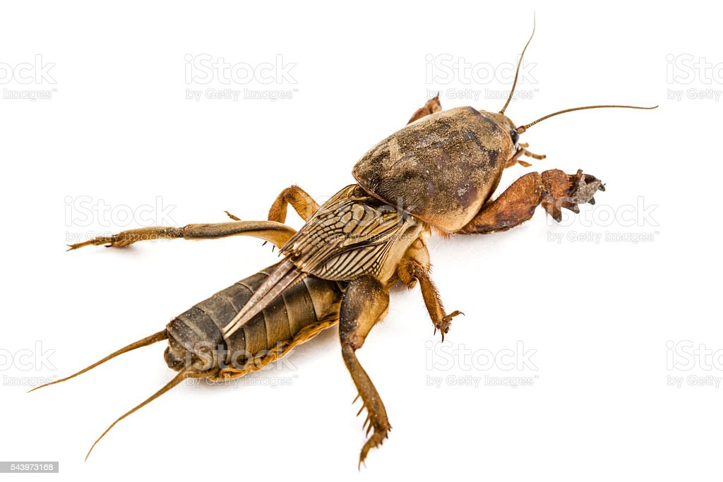Mole cricket (Gryllotalpidae) isolated on white background stock photo