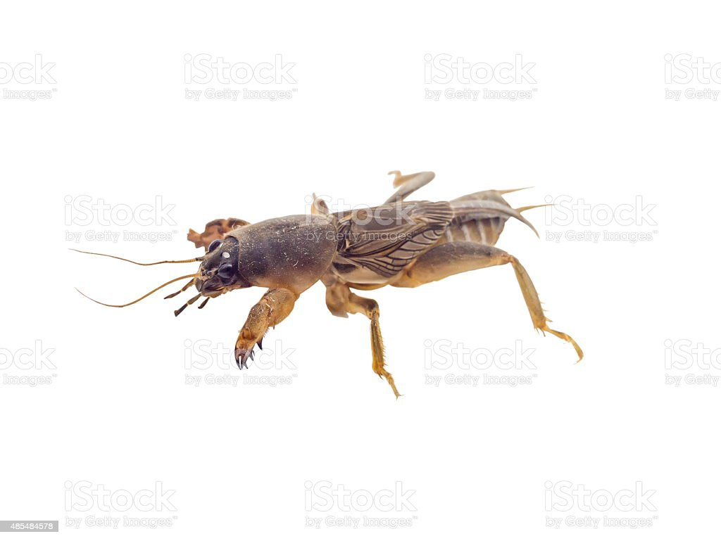 Mole cricket isolated stock photo