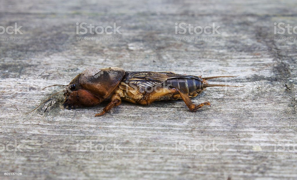 mole cricket on a gray wooden background stock photo