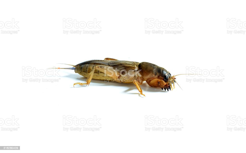 Mole cricket stock photo