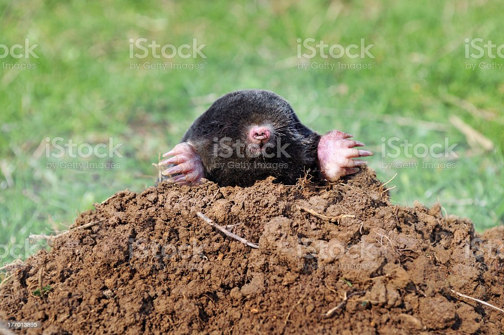 A mole digging his way out of a pile of dirt royalty-free stock photo