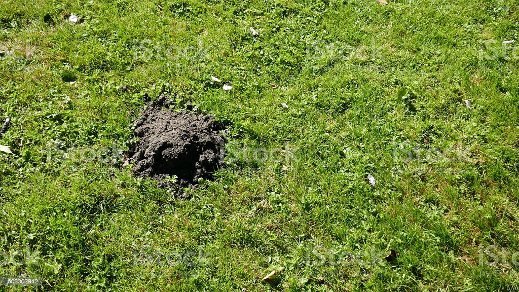 Mole hill on a green lawn stock photo
