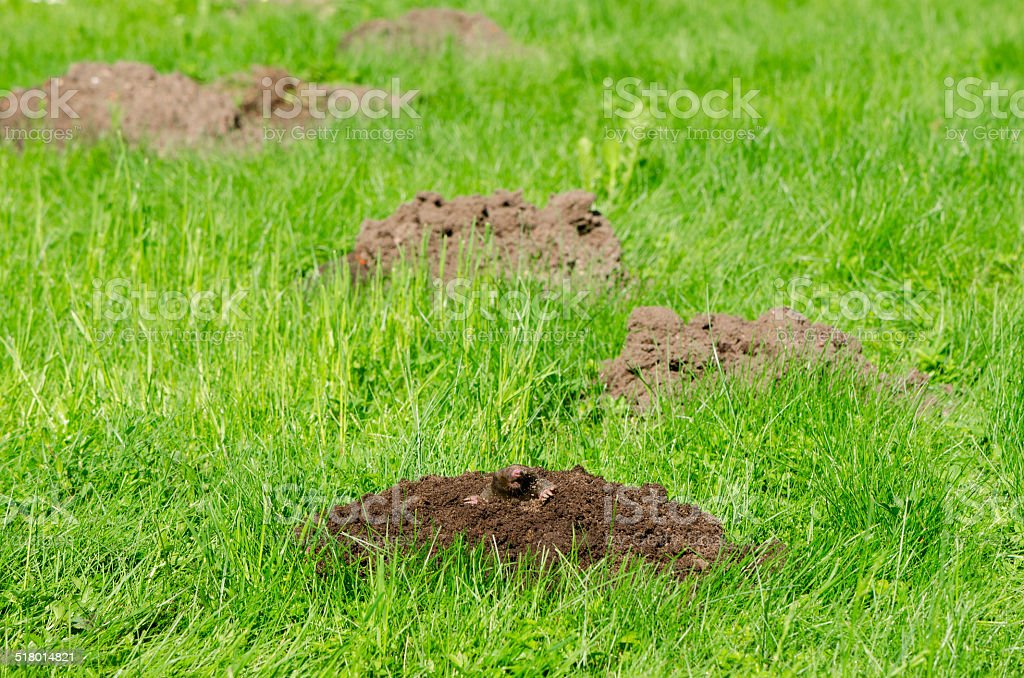 Mole hills on lawn grass and animal head in soil stock photo
