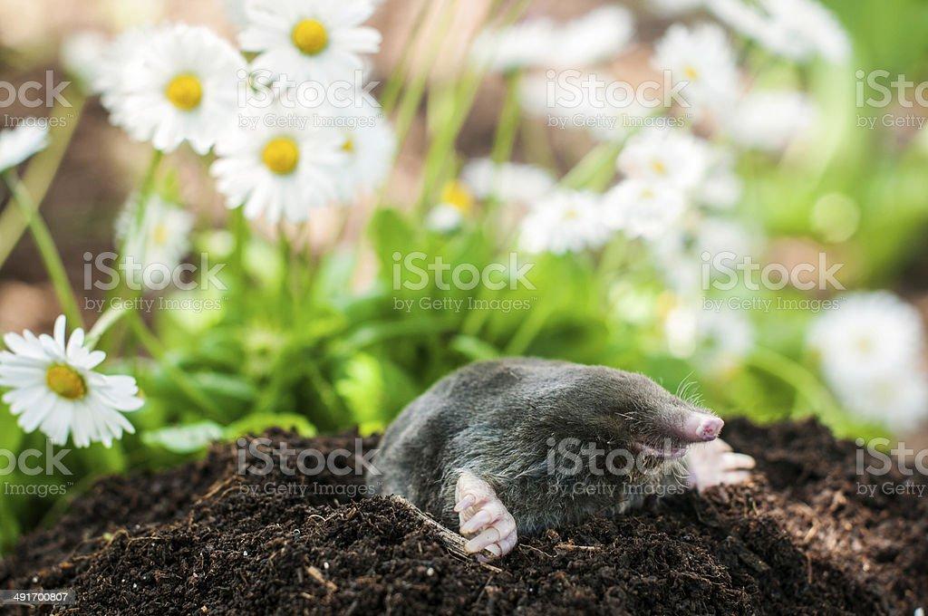 Mole in the hole stock photo