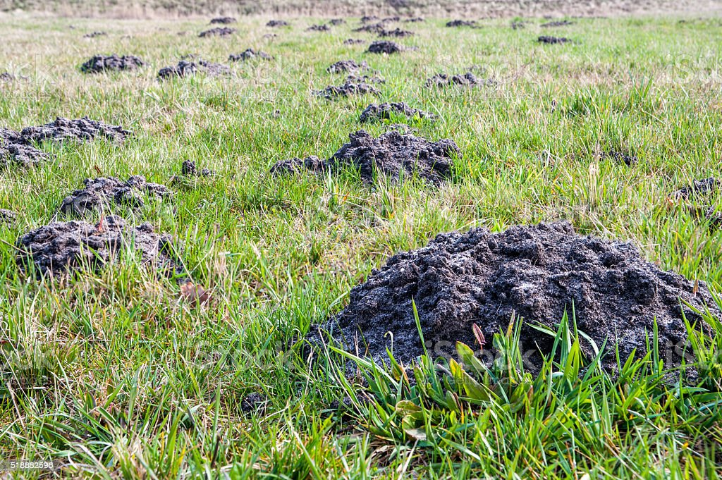 Mole mounds on spring grass in the garden stock photo