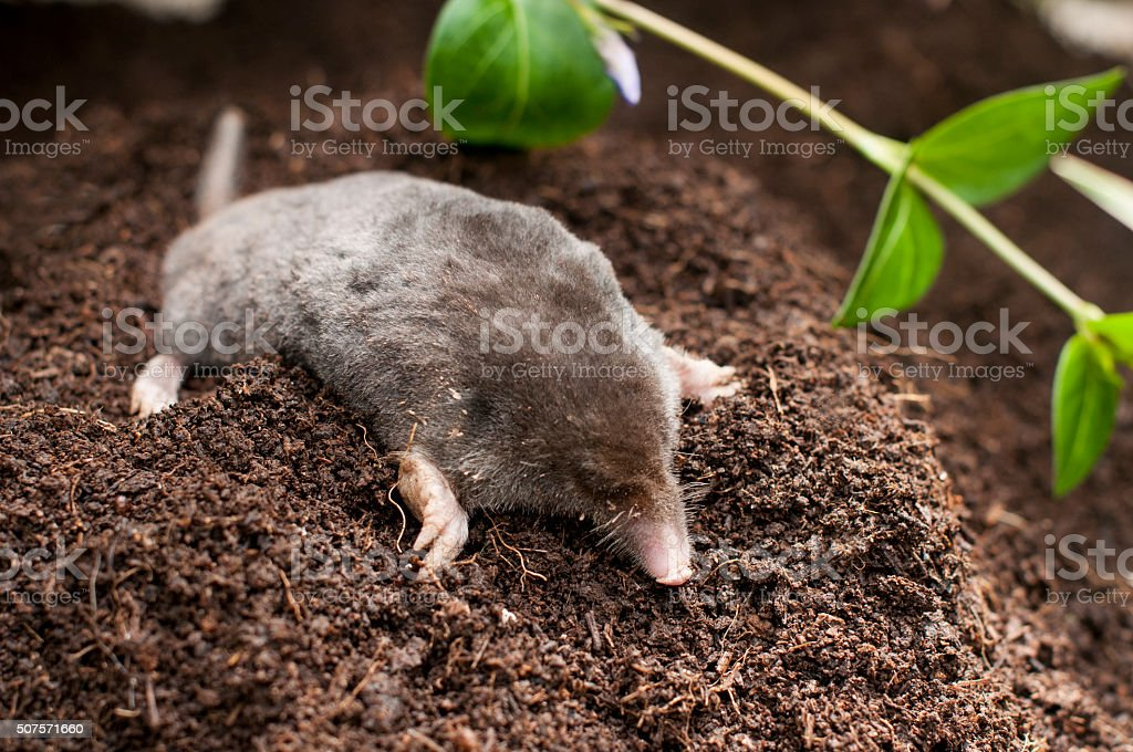 Mole out of soil stock photo