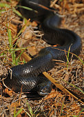 Mole snake, South Africa.