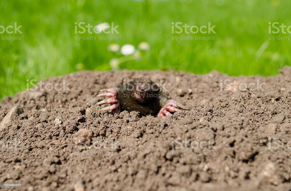 mole snout and claws sticking out of the molehill stock photo
