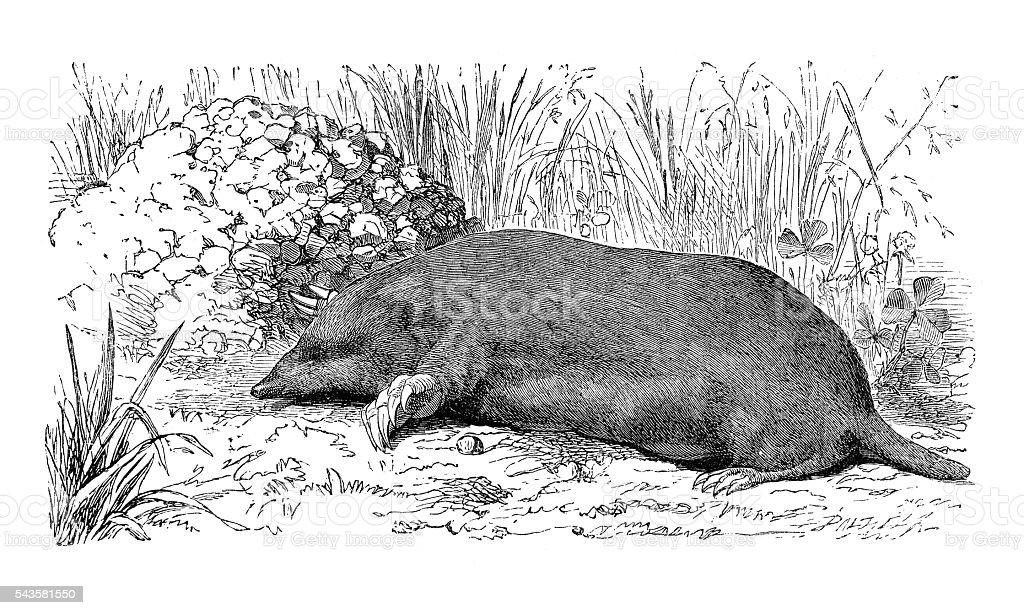 Mole Talpa europaea engraving 1880 stock photo