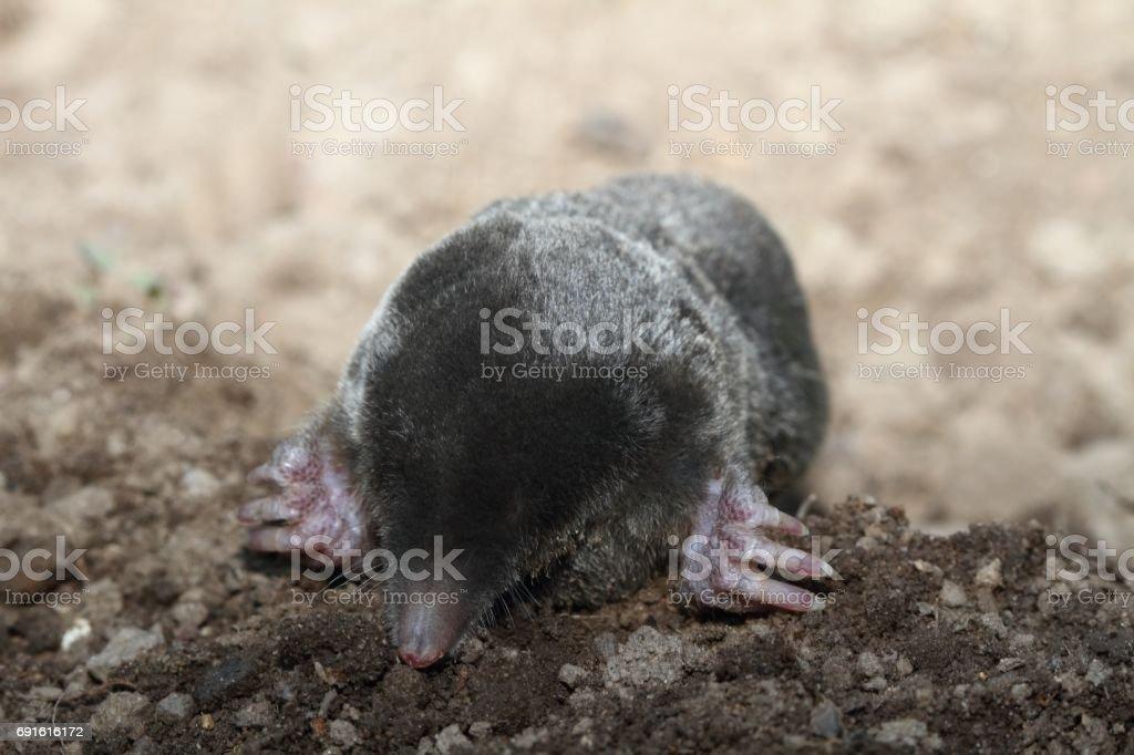 Mole, Talpa europea in ground stock photo