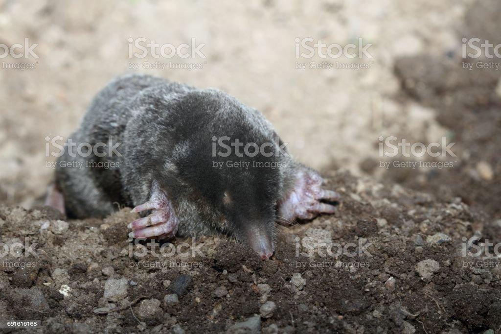 Mole, Talpa europea, with open eyes stock photo
