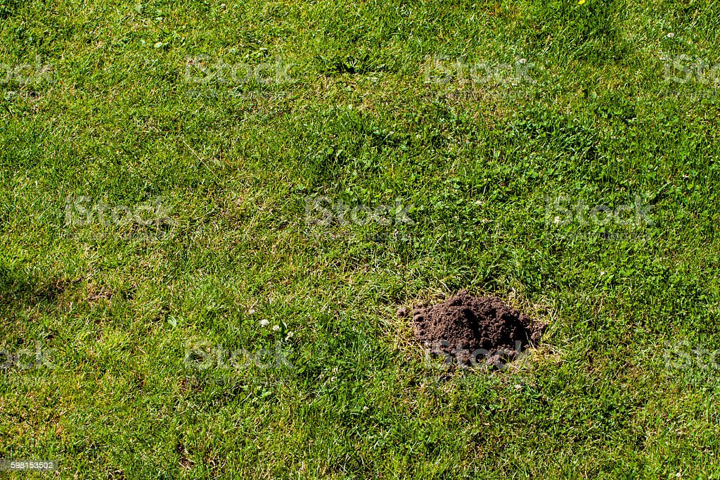 Molehill on grass lawn, many copy space on your project. stock photo