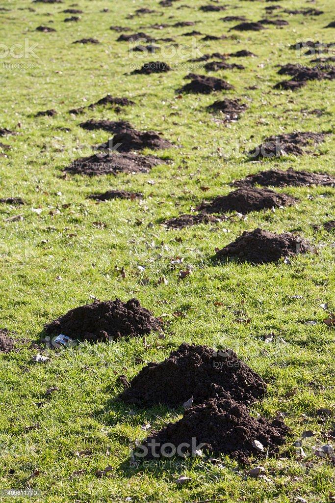 Molehills stock photo