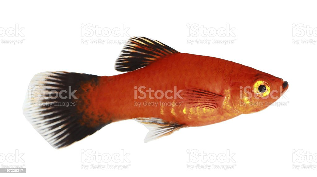 Molly fish isolated on white stock photo