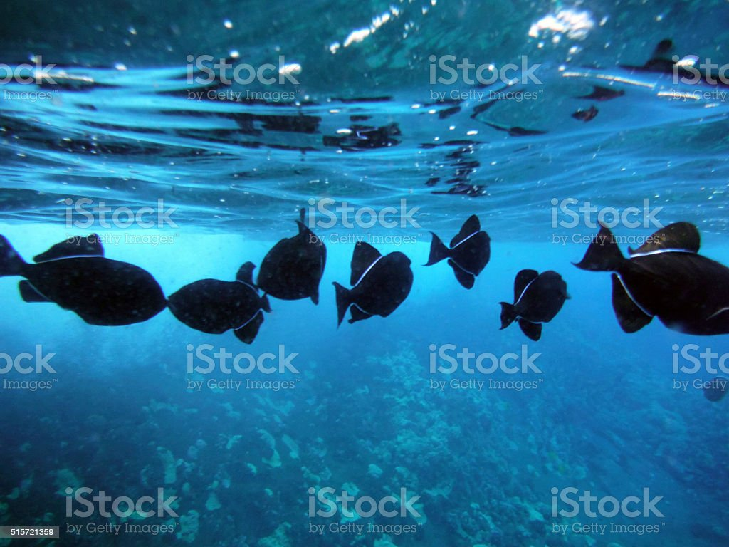 Molokini Crater Hawaii Black Trigger Fish Melichthys niger underwater image stock photo