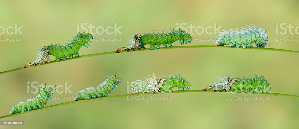 Molting caterpillar of Atlas butterfly stock photo