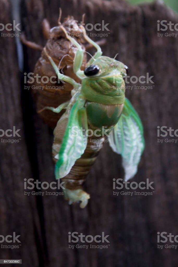 Molting Cicada stock photo