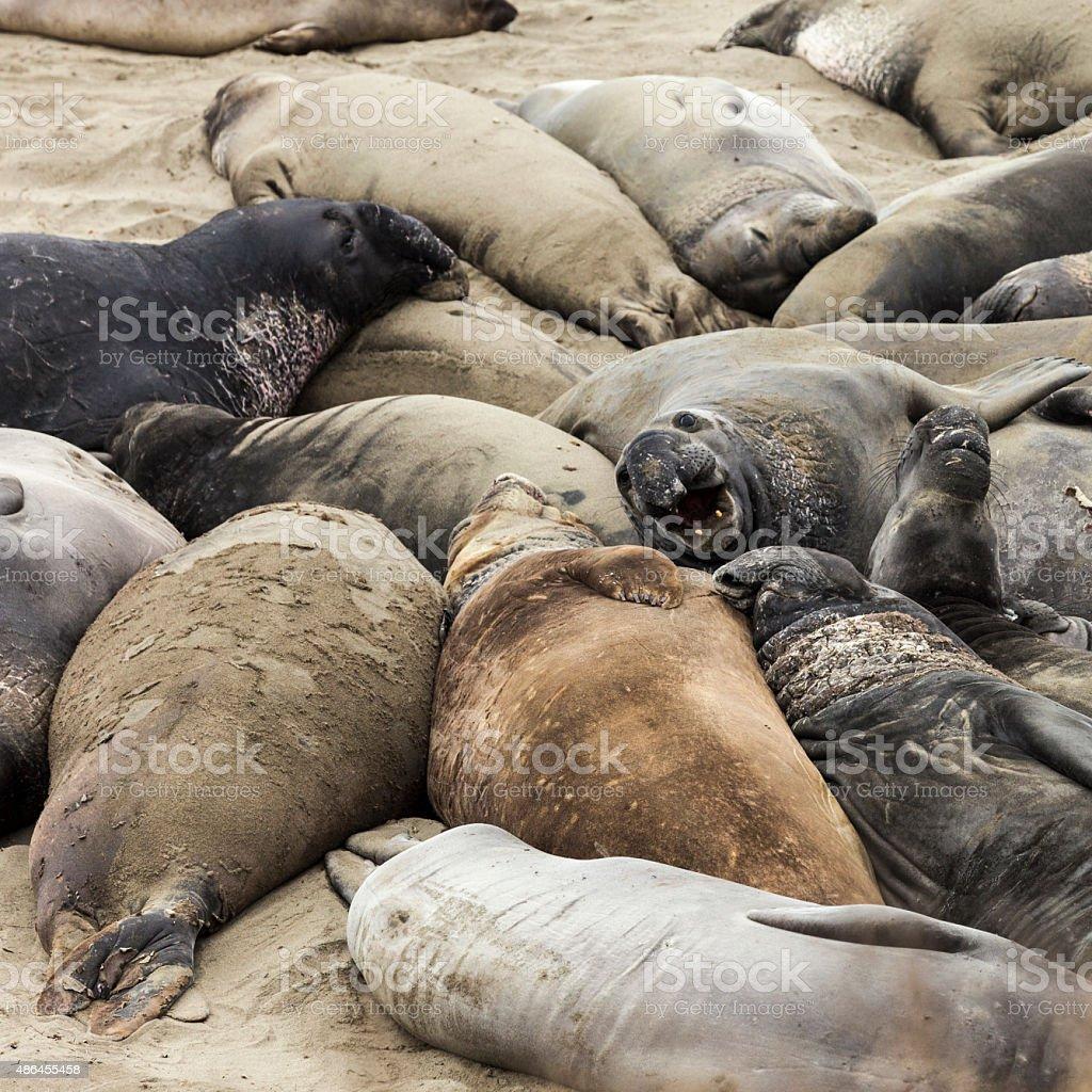 Molting elephant seals at Piedras Blancas Beach, California stock photo
