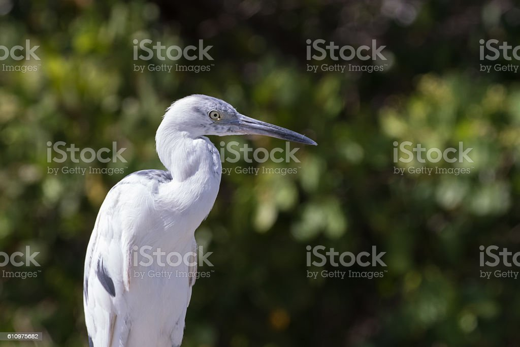 Molting Immature Little Blue Heron, J.N. ''Ding'' Darling Nation stock photo