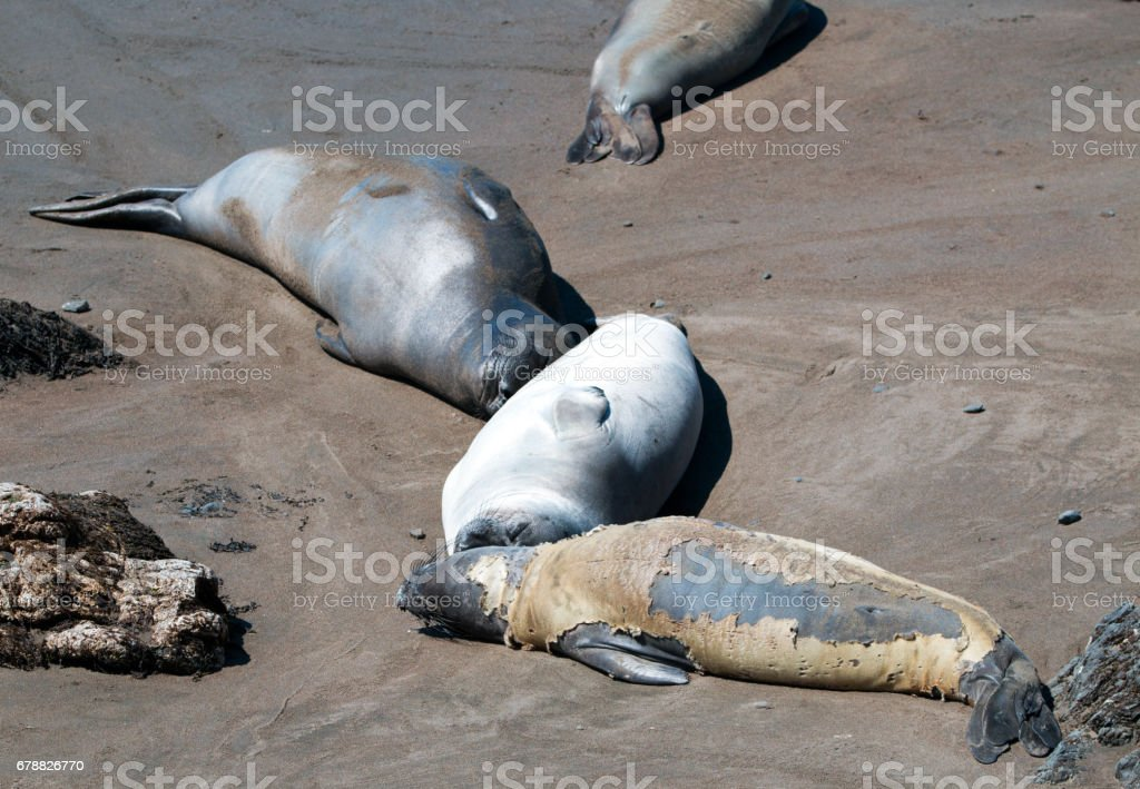 Molting / Shedding Northern Elephant Seal at the Piedras Blancas Elephant Seal colony on the Central Coast of California USA stock photo