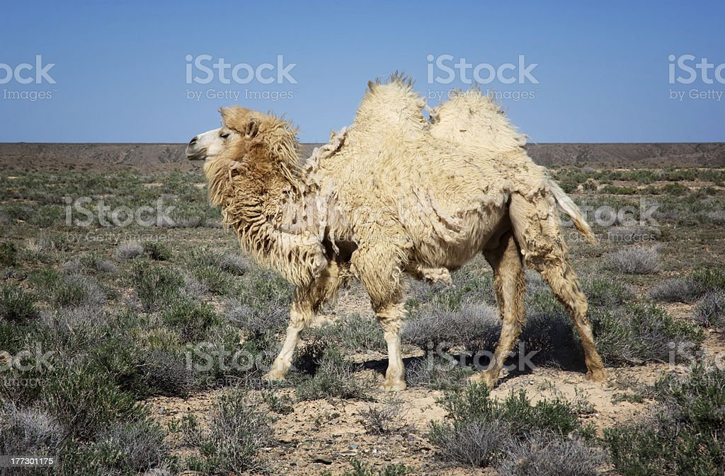 Molting white bactrian camel stock photo
