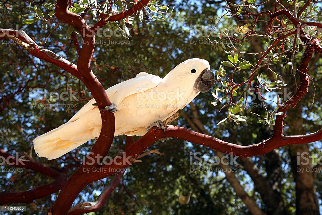 Moluccan Cockatoo in the Trees stock photo