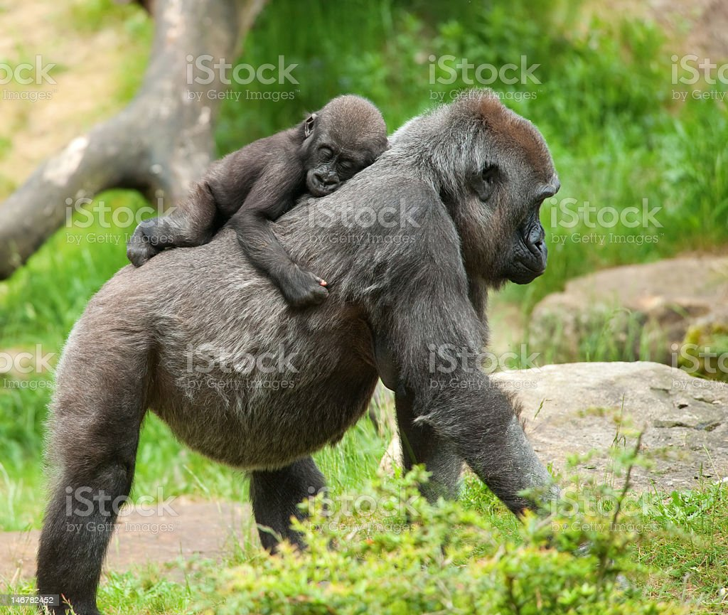 Mom and baby gorilla walking in the grass stock photo