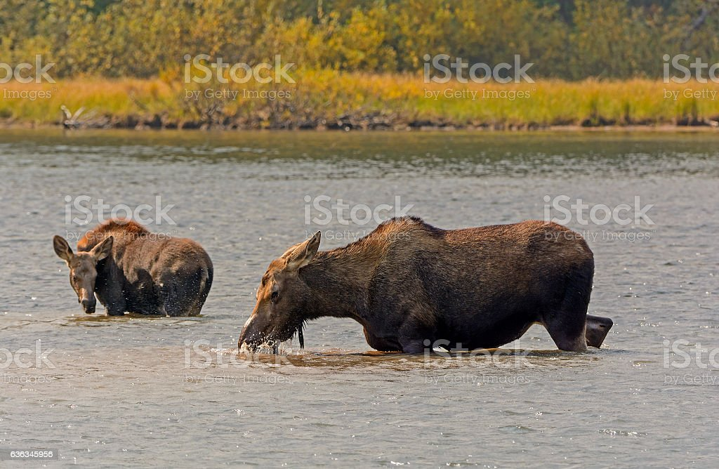 Mom and Baby Moose in a Mountain Lake stock photo