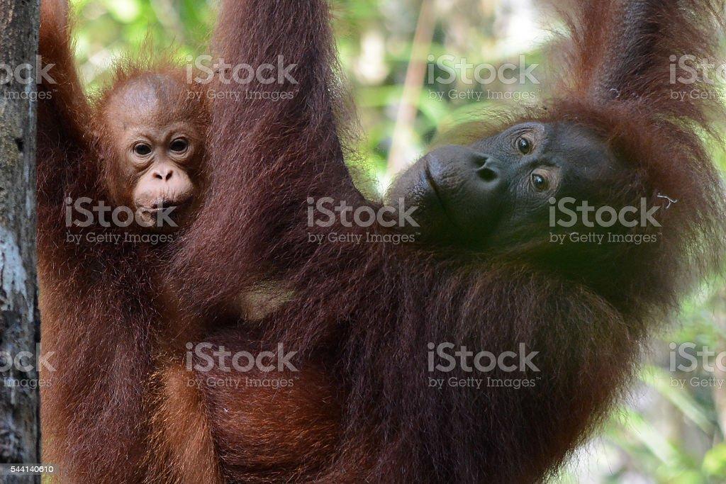 Mom and baby Orangutan stock photo