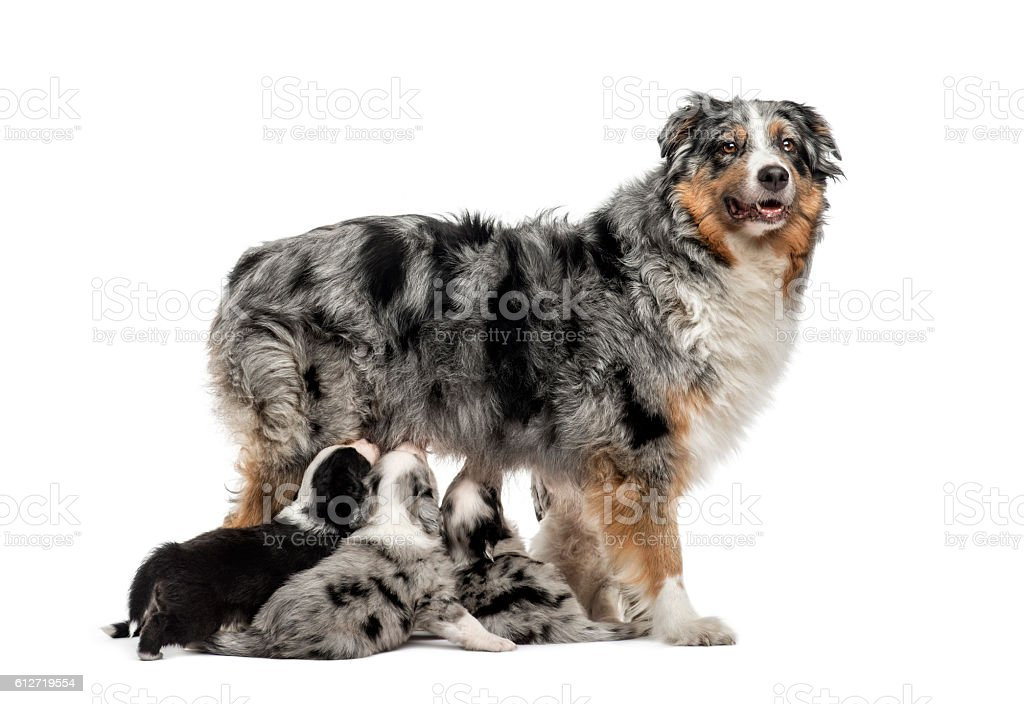 Mom purebred and her crossbreed puppies isolated on white stock photo