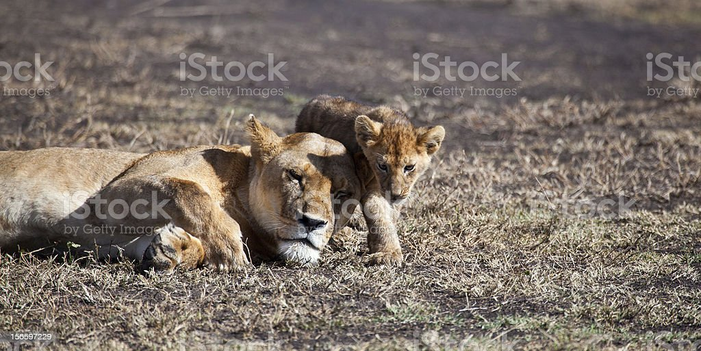Momma and cub royalty-free stock photo