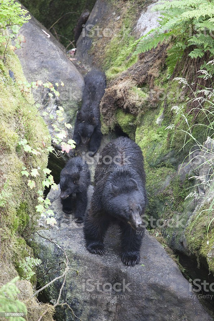 Momma Bear With Cubs stock photo